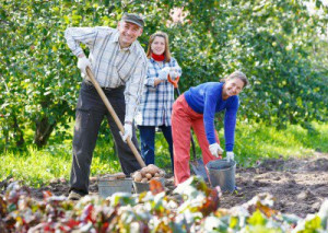 Three people smile as they dig potatoes in a garden