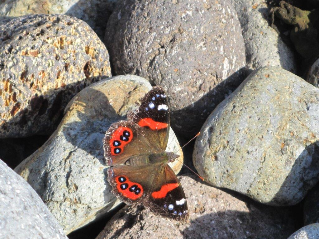 Native red admiral butterfly Vanessa gonerilla
