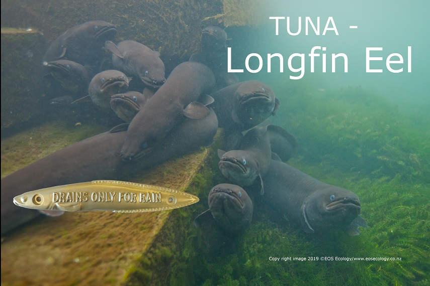 'Longfin eel swimming and a metal gold fish