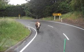 A cow on a Banks Peninsula state highway.