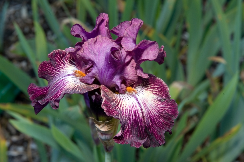 'Bearded Irises