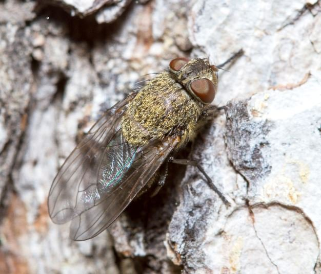 Bronze thorax fly