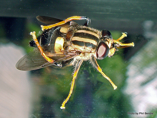 Three lined hoverfly